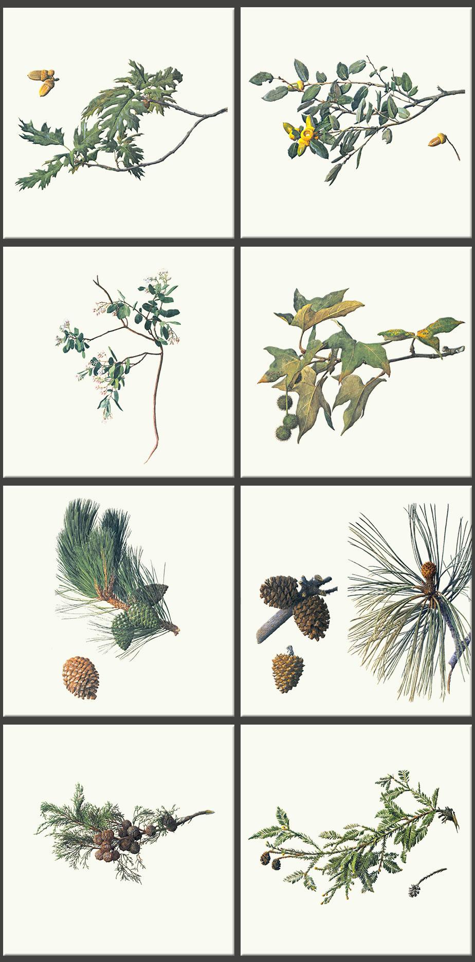 From top left: California black oak, Canyon live oak, Brush manzanita, California Sycamore, Monterey pine, Santa Rosa Island Torrey pine, Monterey Cypress, Coast redwood