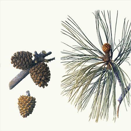 Santa Rosa Torrey Pine