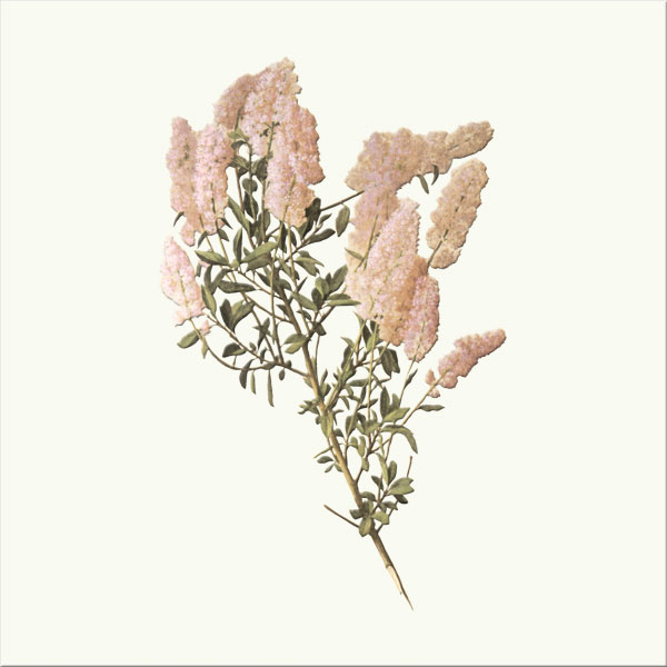 Mountain Lilac