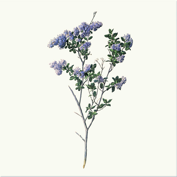 Ceonothus mountain lilac