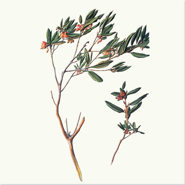 Coast manzanita. You can identify it from the inland bush manzanita because its leaves curl under.
