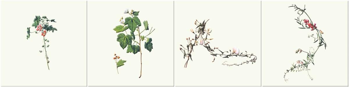 Island Mallow, Thimbleberry, Calystegia morning glory, wild pea