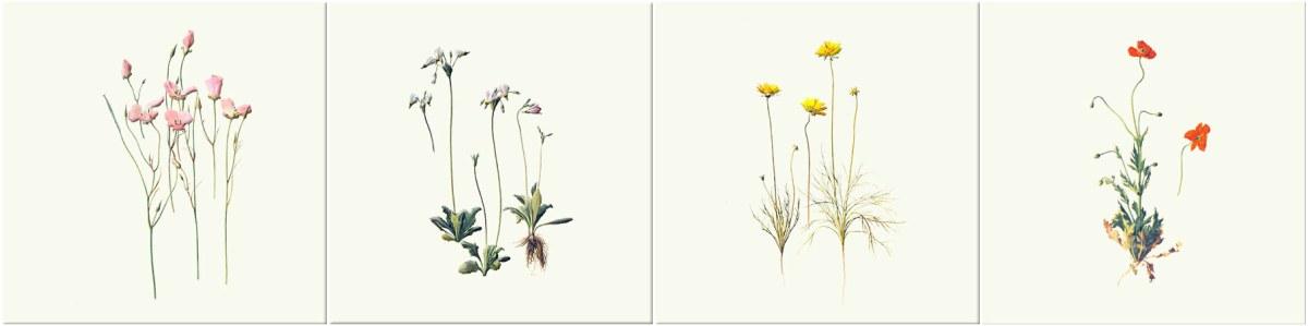 Splendid mariposa lily, Shooting stars, California tickseed, Fire poppy