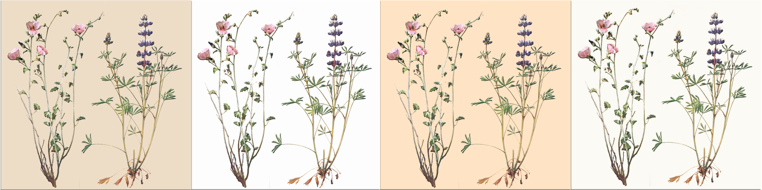 Rose Mallow and Bicolor Lupine on bisque, Navajo, parchment, and wheat backgrounds.  WilliamMorrisTile.com