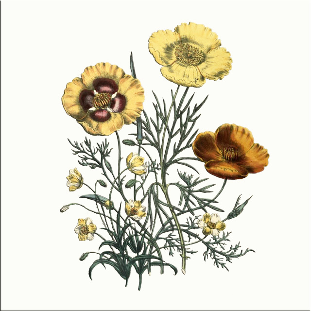 Yellow Poppy Mix